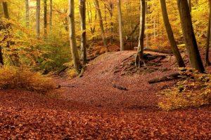 Bosque otoñal lleno de colores vivos y con un manto de hojas en el suelo llamada Burnham Beeches situado en Buckinghamshire en el pais Reino Unido y que aparece en la pelicula Blancanieves y la leyenda del cazador